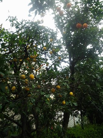 Hotel Diana Pompei: Lemon trees right outside hotel