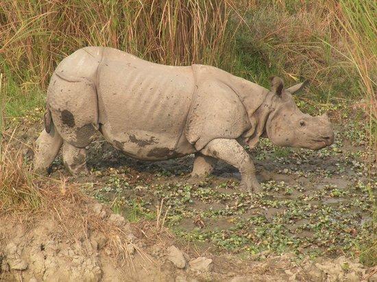 Kaziranga National Park : rhino