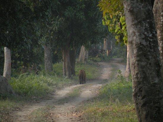 Kaziranga National Park : the big cat