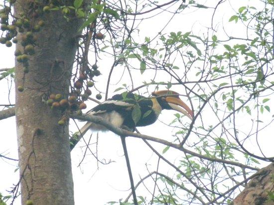 Kaziranga National Park : great indian hornbill
