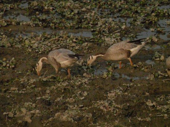 Kaziranga National Park : bar headed geese