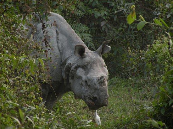Kaziranga National Park : facing a rhino