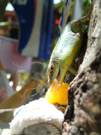 New Cocohut & Cozy Chalets: He be lovin his oranges!  He was on a tree next to my hammock.
