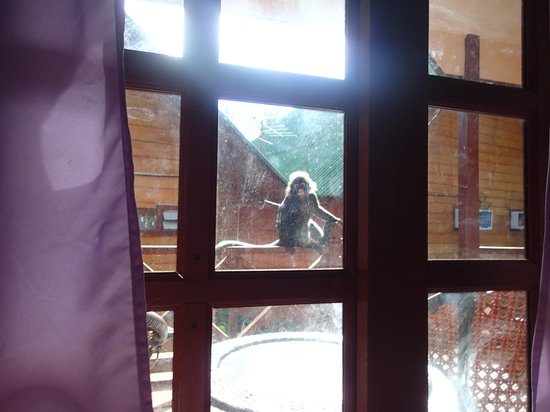 New Cocohut & Cozy Chalets: Trixie langurs.  Watching me during my nap.