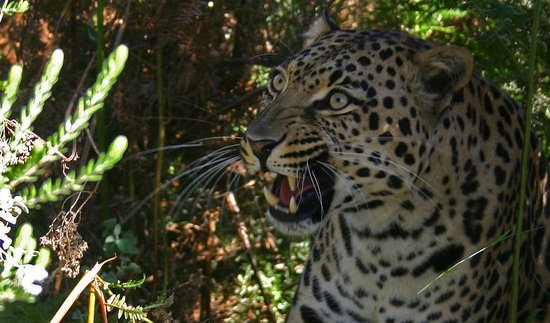Tenikwa Wildlife Awareness Centre: Magnificent moment with the Leopard (photo by Ronel of Forest Edge)