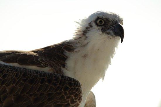 Seaside Village at Jerry Wells : Pet sea eagle