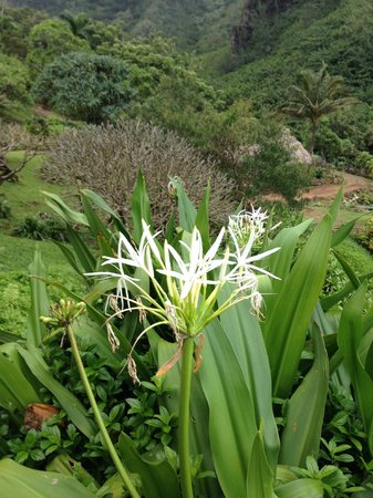 Limahuli Garden and Preserve: one of the few blooming ones