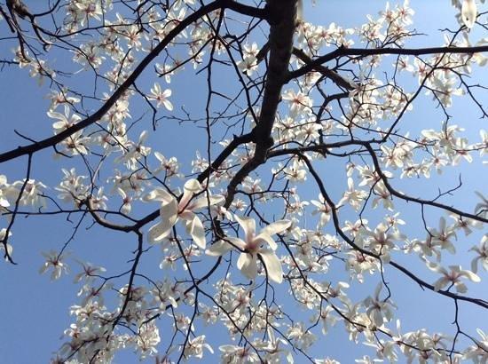 Jardins classiques de Suzhou : beautiful spring blossoms