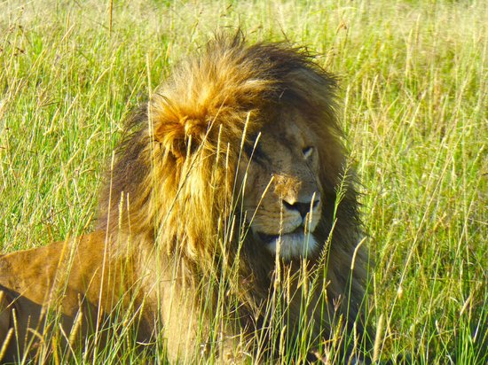 Porini Lion Camp : lion