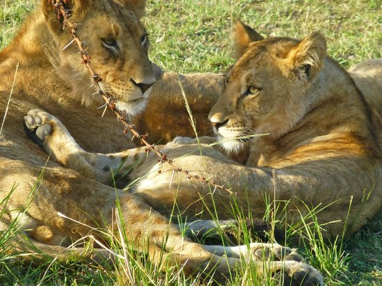 Porini Lion Camp : lions
