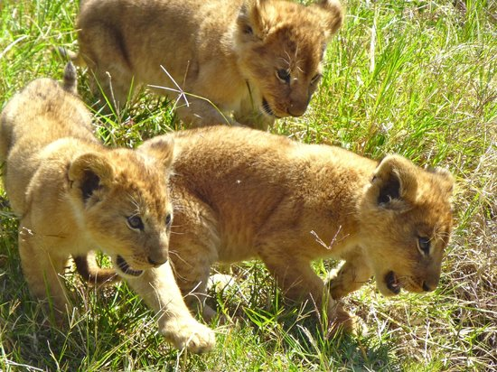 Porini Lion Camp : cubs
