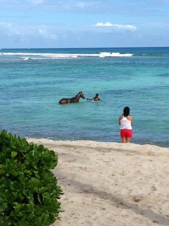 The Palms at Pelican Cove : local racehorse being exercised off the beach in am