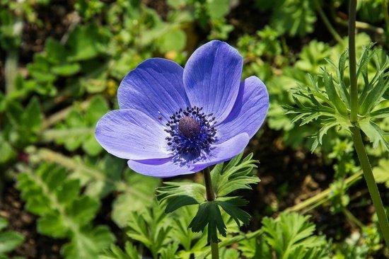 Jardines de Alfabia: Purple poppy!