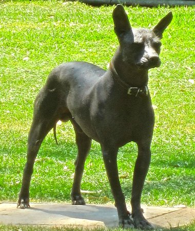 Museo Dolores Olmedo Patino: One of the estate's pre-Columbian Mexican hairless dogs