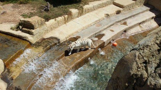 Rancho Texas Lanzarote Park : White Tiger :)