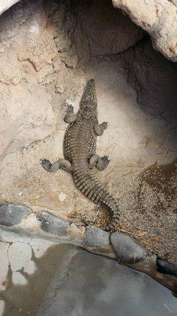 Rancho Texas Lanzarote Park : They have loads of Crocodiles :)