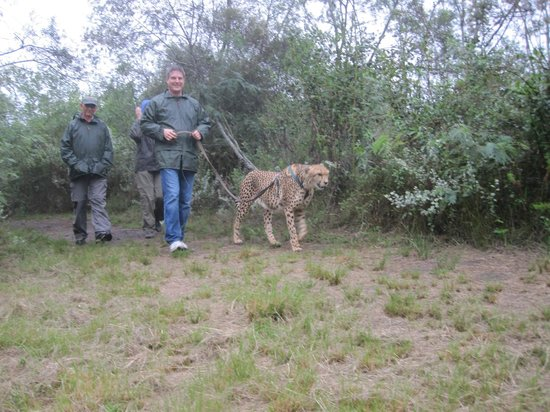 Tenikwa Wildlife Awareness Centre: Walking the cheetah