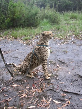 Tenikwa Wildlife Awareness Centre: Walking the cheetah