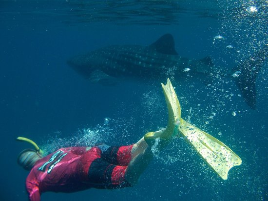 3 Islands Whale Shark Dive: In awe