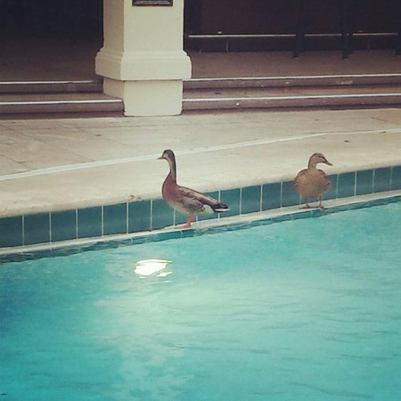 Star Island Resort and Club: Duckies by the pool on a rainy day!