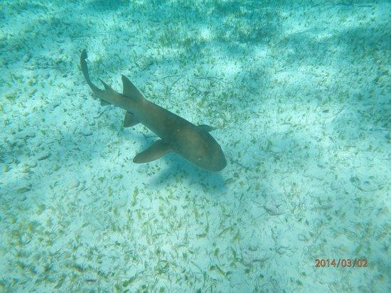 Hol Chan Marine Reserve: Nurse shark