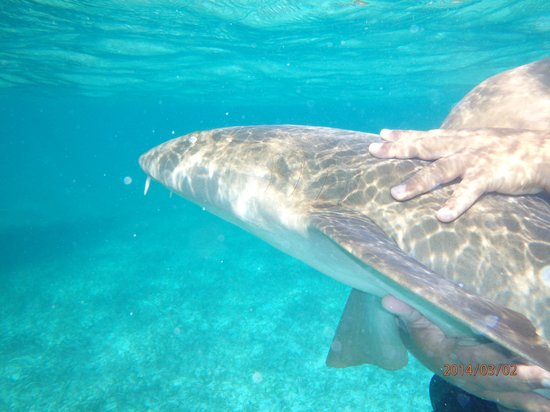 Hol Chan Marine Reserve: Even my wife touched the nurse shark