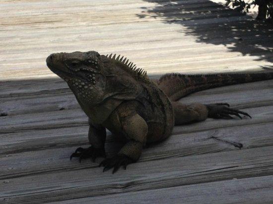 Hungry Iguana Restaurant: Close up of resident namesake