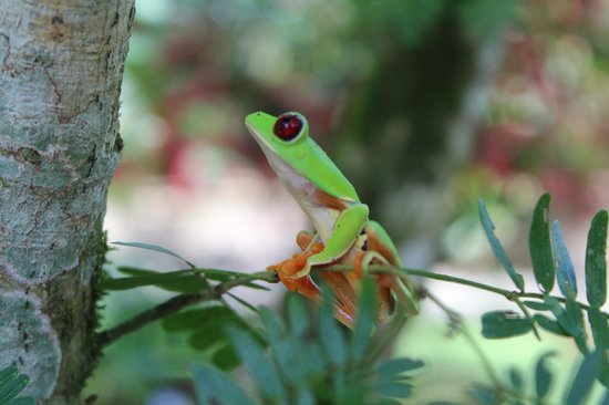 Pacific Trade Winds : Red Eye Frog