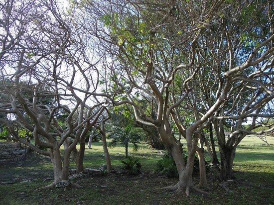 Bleu Magic Raiatea: Trees inside the wall of the ruins, stunning....