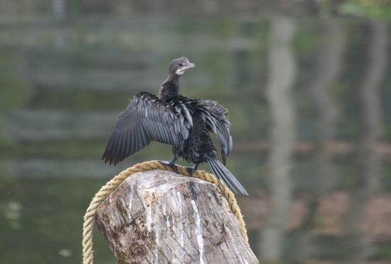 The Park on Vembanad Lake: Little Cormorant