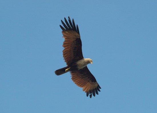Marari Beach Resort : White bellied sea eagle