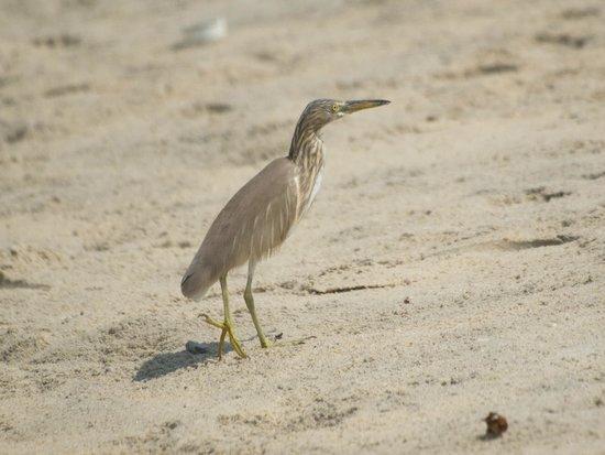 Marari Beach Resort : Pond heron