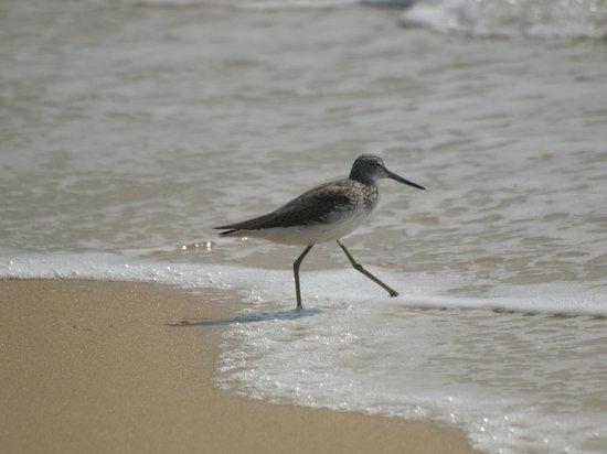 Marari Beach Resort : Greenshank