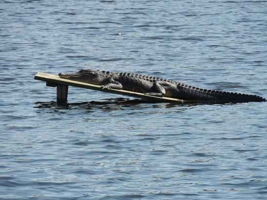 Magnolia Plantation & Gardens: Alligator