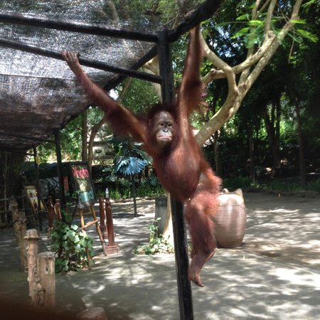 Bali Safari & Marine Park: Orangutan free to swing after the photo! she must be very tame