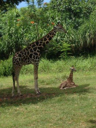 Bali Safari & Marine Park: Baby giraffe