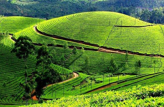 Glen Fall Resort: Tea Estates