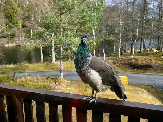 Macdonald Lochanhully Woodland Club: A Welcome Visit from the Resident Peahen