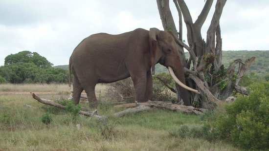 Matyholweni Rest Camp: The big tusker