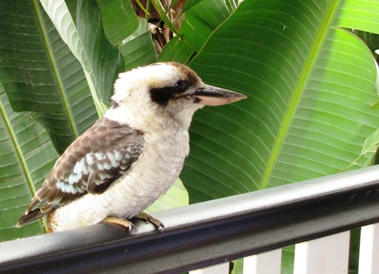 Allara Homestead Bed & Breakfast : Kookaburra arrives for breakfast time