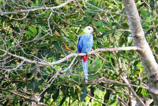Allara Homestead Bed & Breakfast : Visitng blue rosella in tree across gully