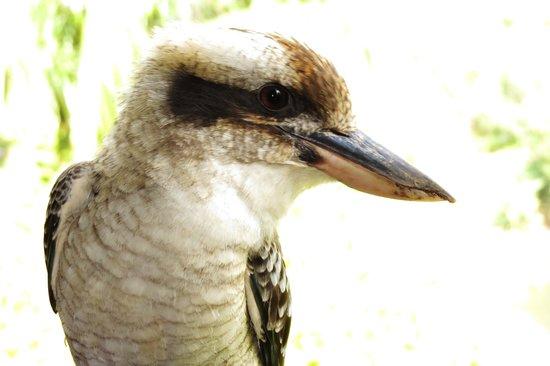 Allara Homestead Bed & Breakfast: Local kookaburra
