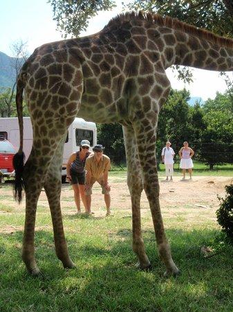 Moholoholo Wildlife Rehab Centre: accueil par girafon