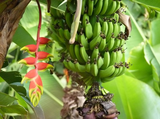 Xandari Resort & Spa : Look closely a Humming bird....between flower and bananas....@Xandari