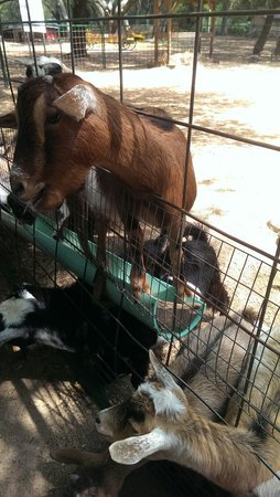 Green Meadows Petting Farm : Goats waiting for guests to feed them.