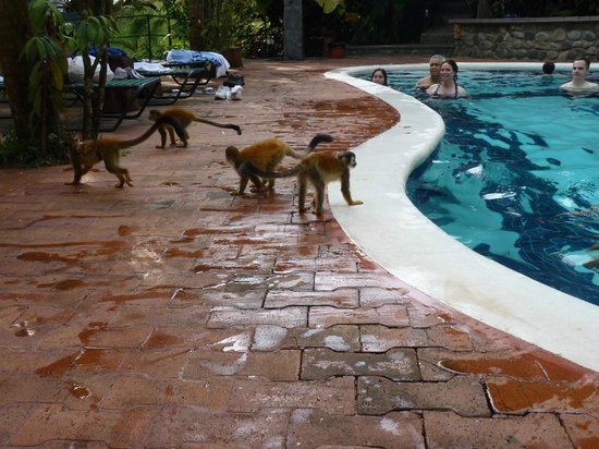 Hotel Costa Verde : Monkeys on parade @ the pool!!
