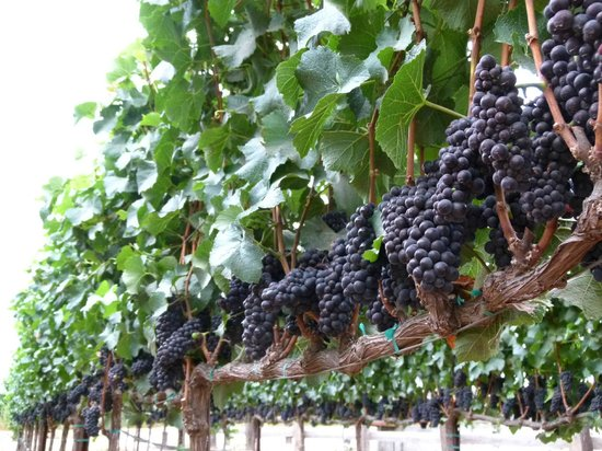 Idle Hour Winery: Our Pinot Noir is sourced from the Santa Lucia Highlands.