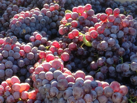 Idle Hour Winery: Grenache at picking in the Love Ranch Vineyard.