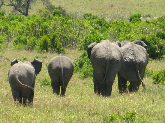 Mara Simba Lodge: elephants