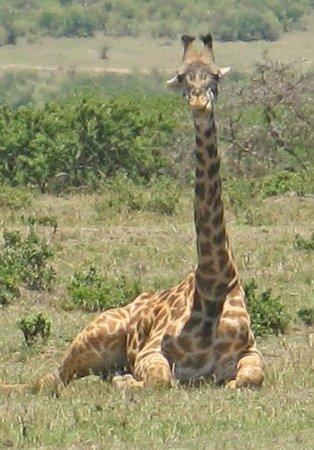Mara Simba Lodge: giraffe